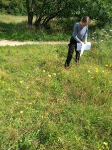 harvesting wildflower seeds at Magdale, Honley