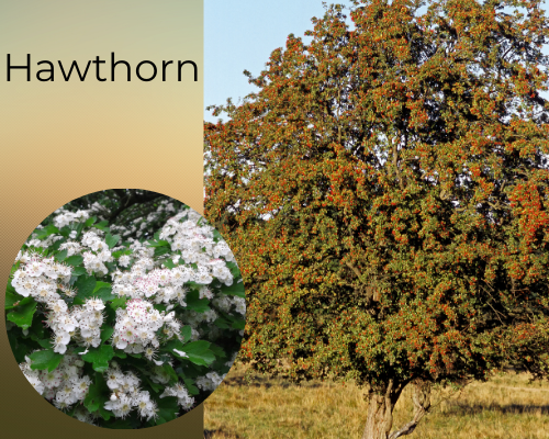 Native trees hawthorn