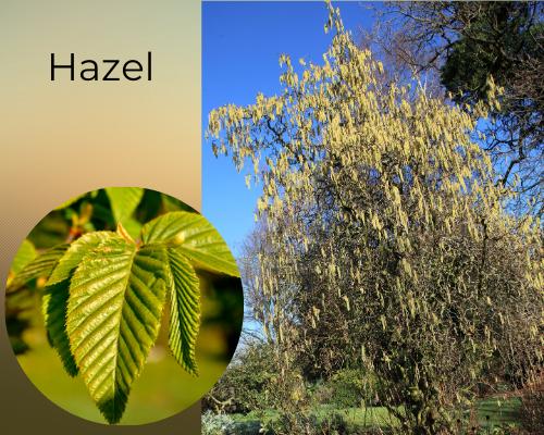 Native trees hazel