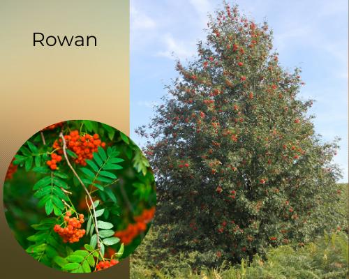 Native tree species rowan