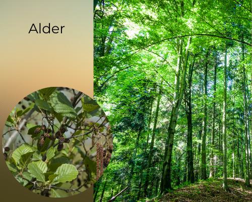 Identify tree species - alder