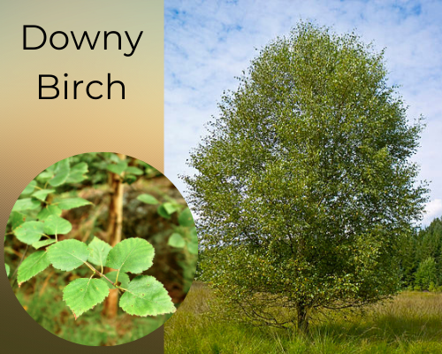 Identify tree species