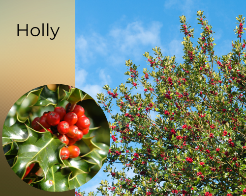 Holly native tree