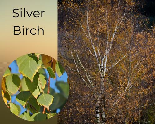 Tree species silver birch